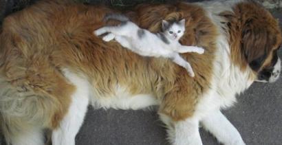 Koty używają psów... w roli poduszek!
