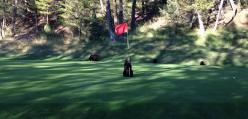 Mały niedźwiadek znalazł zabawkę na polu golfowym