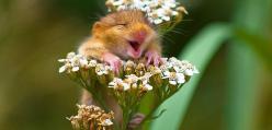 Kolekcjoner SŁODKOŚCI - myszy polne