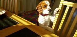 Ten beagle wie, że nie ma nic za darmo!