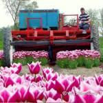 Tak wygląda zbieranie tulipanów w Holandii