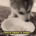 Wolfie - Husky, który zje absolutnie wszystko