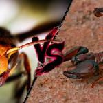 Ogromny szerszeń vs skorpion - WALKA