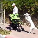 Psiak pcha dziecko w wózku