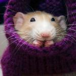 Marty - uśmiechnięty szczurek