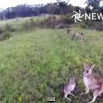 Kangur strącił drona
