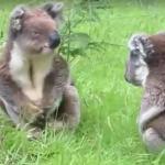 Walka misiów koala - HA, HA, HA!