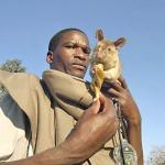 Wielkoszczury gambijskie w akcji