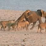 Mały słonik vs 14 lwów