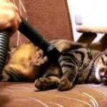 Ten kot kocha bycie odkurzanym!