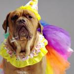 Wściekłe psy w ślicznych kostiumach