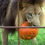 Jak wielkie koty obchodzą Halloween?