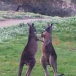 Uwaga, walka kangurów!