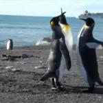 Walka pingwinów - mniej męska niż noszenie rurek?