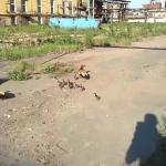 Kaczki bronią swoich dzieci