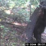 Niedźwiedź znalazł drapak idealny