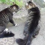 Koty kochają się kłócić!