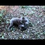 Misie koala walczą jak zawodnicy MMA