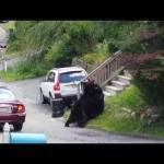 MMA w wykonaniu niedźwiedzi
