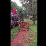 Jak wysoko potrafi wyskoczyć tygrys?