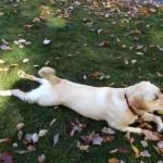 Szaleństwo psa w jesiennych liściach