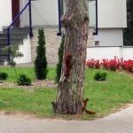 Wiewiórki bawią się w berka