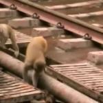 Heroiczne małpy ratują potrąconego przyjaciela