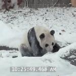 Panda cieszy się z powodu śniegu