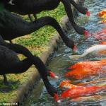 Czarne łabędzie karmią karpie koi - PIĘKNE!