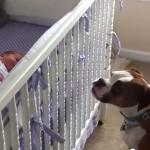 Bokser reaguje na pierwszy płacz noworodka