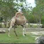 Wielbłąd... bez głowy!