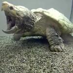 Ten żółw sępi może mieć nawet 200 lat!