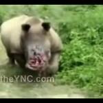Kłusownicy okaleczyli nosorożca!