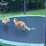 Lisy skaczą na trampolinie - ODLOT!