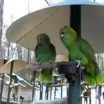Kłótnia małżeńska papug