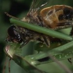 Modliszka zjada pszczołę... na żywca!