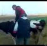 Jazda na krowie!