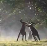 Kickboxing kangurów! Mocne!