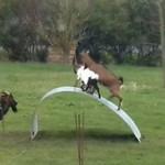 Kozy bawią się na metalowej rampie
