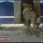 Cyrkowy słoń - morderca