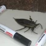 Olbrzymi insekt