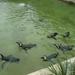 Pingwin na przyspieszeniu