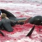 Brutalna rzeź delfinów
