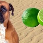 Pies zjadł cytrynę i dostał szału