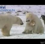 Przyjaźń niedźwiedzi z psami husky!