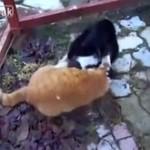 Walka kotów - HARDKOROWA!