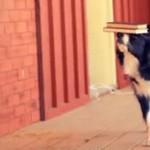 Ten pies potrafi utrzymać na nosie wszystko
