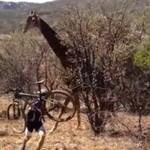 Żyrafa zaatakowała rowerzystę - WTF!?