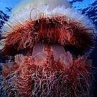 Największe meduzy świata!