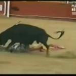 Byk stratował torreadora!